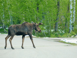 Officials warn of moose after several attacks