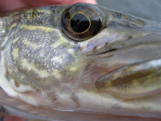 Reward for fish caught at Green Mtn. Reservoir