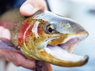 Warm water, low river flows put trout at risk