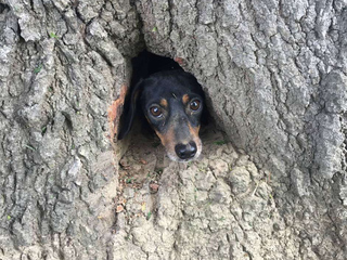 Sad-looking dachshund rescued from tree trunk