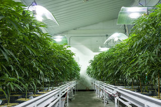 New pot grow rules for Colorado coming soon