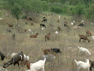 Not baaad: Goats used to stop fires, teach kids