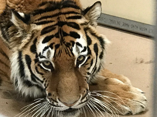 Denver Zoo welcomes new amur tiger from Moscow