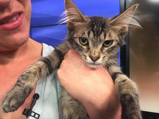 Pet of the day for July 8 - Ranger the kitt