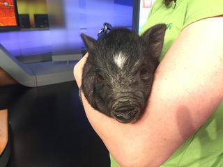 Pet of the day for July 9 - An adorable piglet