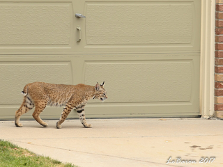 Rare Colo. bobcat sighting sets Facebook abuzz