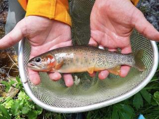 Wildlife crews work to save rare cutthroat trout