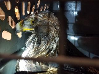 Golden eagle rescued after car wreck on US 24