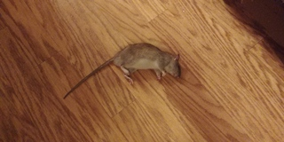 Rat infestation takes over Arvada apartments