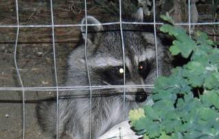 Aurora neighborhood battles raccoon mischief