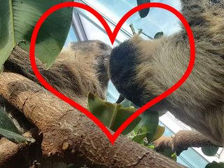Just because: Sloths kissing at Denver Zoo
