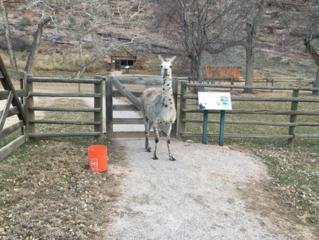 Stray Colorado llama captured after months