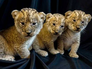 So cute! Pueblo Zoo welcomes 3 new lion cubs