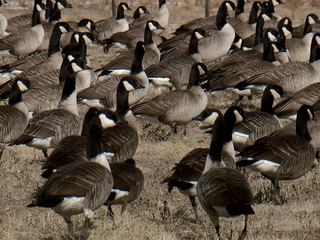 Denver parks find ways to deal with messy geese