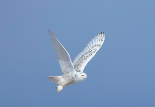 Prepare for more snowy owl sightings in Colo.