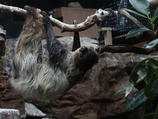 GALLERY: Denver Zoo announces sloth pregnancy