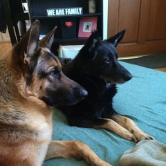 Proposed bill would stop ban of large dogs