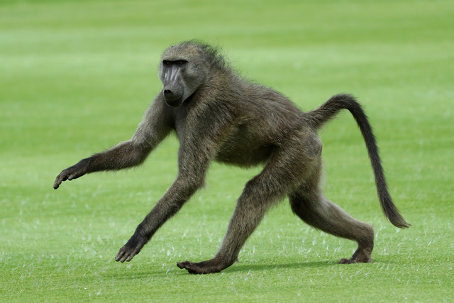 Baboons Break Out Of Paris Zoo