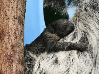 Denver Zoo welcomes new baby sloth