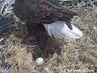 Watch live: Colorado bald eagle nest