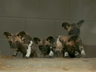 Denver Zoo introduces African wild dog puppies