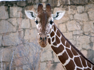 Cheyenne Mtn. Zoo has 2 pregnant giraffes