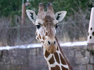 Cheyenne Mtn. Zoo giraffe birth cam now live