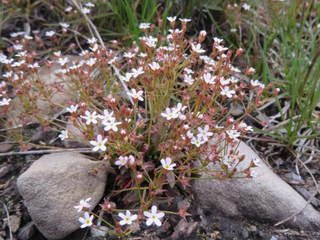 Warming climate may mean extinction for CO plant