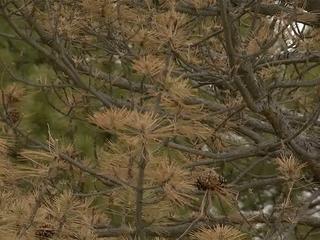 Pine beetles, warm winters raise health concerns
