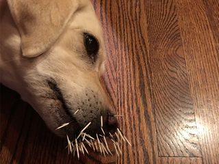 Dog attacked by porcupine in Highlands Ranch