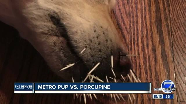 Highlands Ranch woman-s dog attacked by porcupine
