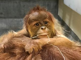 Denver Zoo welcomes baby orangutan