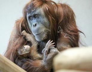 Denver Zoo's new orangutan debuts Friday