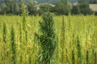 Hemp farms taking off in Colorado