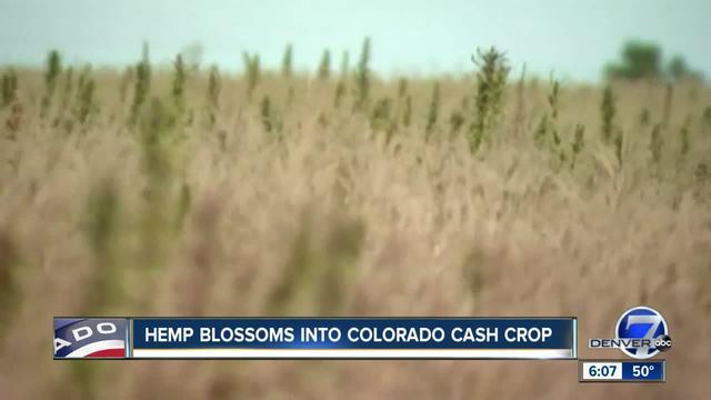 Our Colorado- Hemp farming exploding in popularity in Colorado- from…