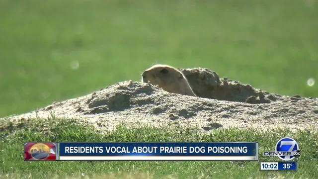 Fight to save remaining prairie dogs after colonies poisoned
