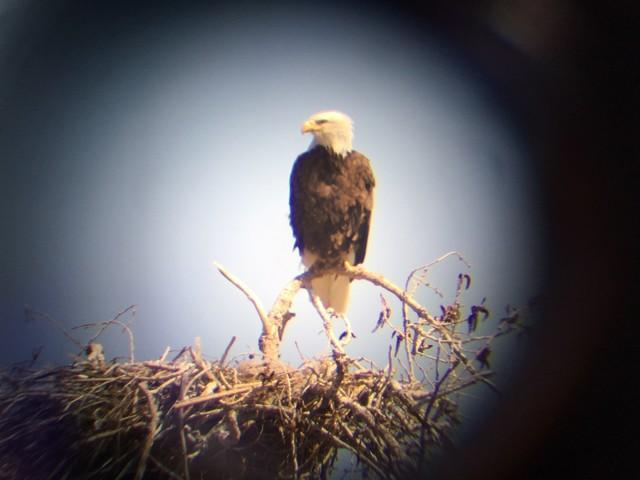 Bald eaglet in danger