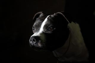 Castle Rock repeals ban on pit bulls