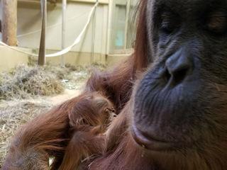 Zoo announces birth of orangutan baby