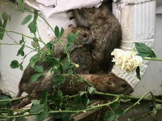 New homeowner finds house next door rat-infested