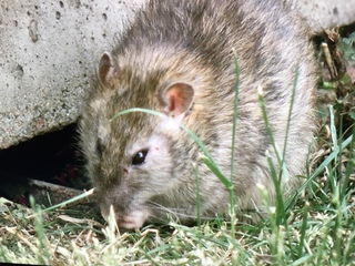 Does rat-infested house pose a health danger?