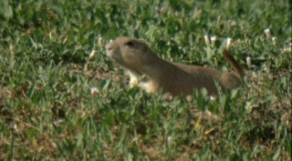 State denies paperwork to relocate prairie dogs