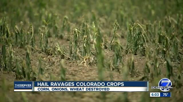 Hail ravages Colorado crops for second time in two days