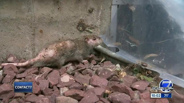 Rat-infested Lakewood home set to be exterminated after Contact7 report