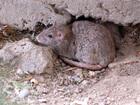 Extermination starts at Lakewood 'rat house'