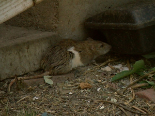 Stench from rat-infested house plagues neighbors