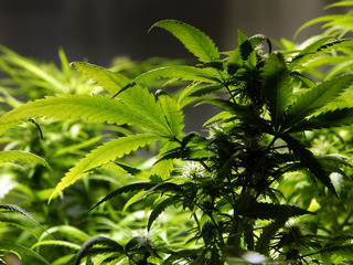 How Canada could steal pot workers from Colorado