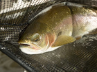About 300 fish rescued from Animas River