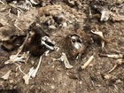 Animal carcasses dumped near Colorado camp site