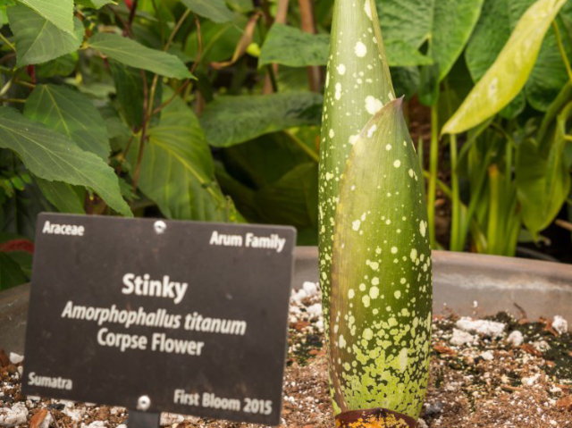Stinky\' the corpse flower is blooming at the Denver Botanic Gardens ...